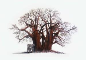 Baobab Elephant s
